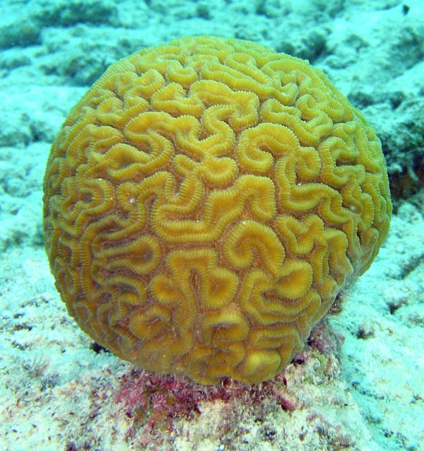 Measuring 10 feet by 16 feet, the world's largest brain coral can be found at the popular diving and snorkeling spot Speyside, Tobago.