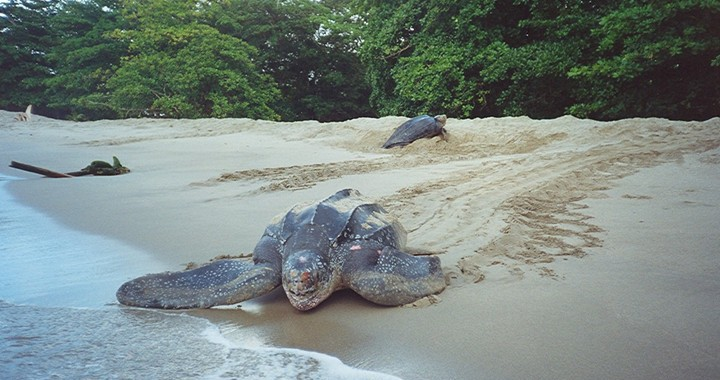Leatherback-Turtles-720x380