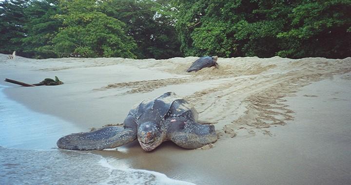 Leatherback-Turtles-720x380