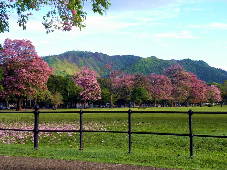 Trinidad and Tobago is home to the world's largest traffic roundabout around the Queen's Park Savannah. Picture is the savannah with the poui trees in bloom